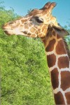 Giraffe Wallpaper for iPhone