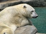 Polar Bear Wallpaper 1024 x 768
