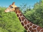 Giraffe Wallpaper 1280 x 960