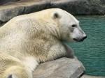 Polar Bear Wallpaper 1024 x 768