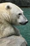 Polar Bear Wallpaper for iPhone
