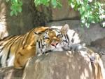 Tiger Wallpaper 800 x 600